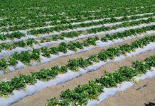 STRAWBERRY FARMING-UDAIPUR REGION
