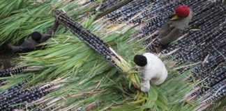 Sugarcane's SAP declared: Criticism of the Opposition