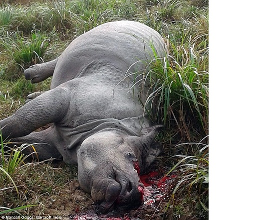 Body of Rhino found in Kaziranga National Park, horn was cut down