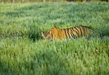 खेत में घुस आए बाघ की बिजली का करंट लगने से मौत