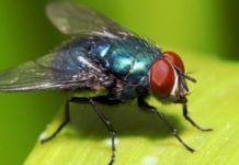 The disease spreads in humans, domestic flies: study
