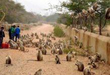 BJP and Congress will get rid of monkeys terror in Himachal