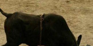 Bull, innocent, life, bhartpur