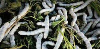 Central Silk Board, recently, notified, species, silkworm, egg, species, grown