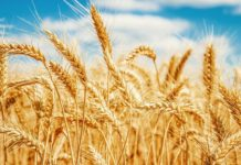 wheat, genome, Success, understanding, complex, indian sciencetist