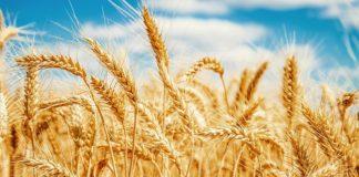 wheat, genome, Success, understanding, complex, indian sciencetist
