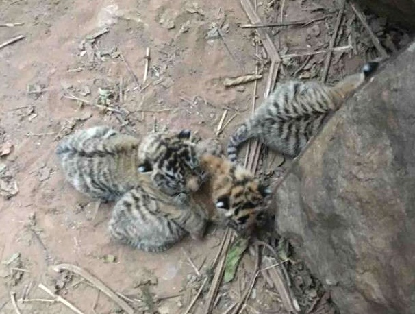 Sariska Tigar ST-10, three cubs